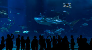 One Shark Whale swimming along big tank with tourist. At Okinawa Aquarium royalty free stock image