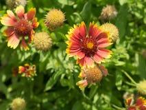 One sharp gaillardia flower on flowerbed. Stock Photo