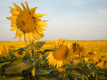 One sharp sunflower Royalty Free Stock Images