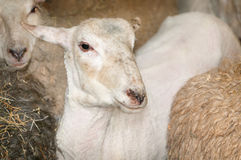 One Sheared Sheep Amongst Others Prior to Shearing Stock Photography