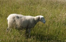 One sheep Royalty Free Stock Image