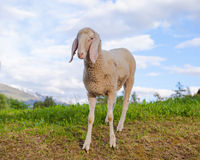 One sheep against sky background Stock Photo