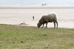 One Sheep With Beach in Background Royalty Free Stock Photo