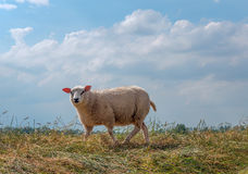One sheep curiously looking Royalty Free Stock Photography