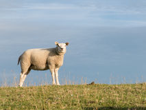 One sheep on dike, Holland Stock Photos