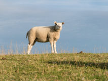 One sheep on dike, Holland Royalty Free Stock Photography