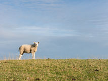 One sheep on dike, Holland Royalty Free Stock Photo