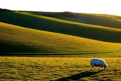 One sheep grazing in a green field with rolling hills in the bac. Sussex rolling hills with a sheep in the foreground grazing in a field, the light is low Royalty Free Stock Image