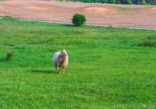 One sheep grazing in the meadow Stock Photography