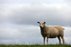 One Sheep On Grassland Stock Photos