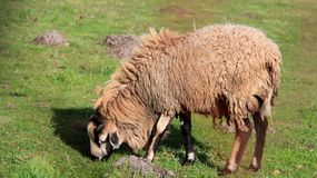One Sheep on pasturage Easy Way Of life Stock Photography