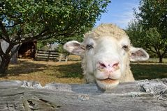 One Sheep in Pasture Stock Images