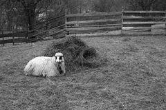 One sheep resting Royalty Free Stock Images