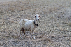 One sheep standing on the meadow. In country side. Selective Focus Stock Images