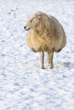 One sheep standing in meadow covered with snow Stock Photos