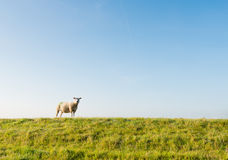 One sheep on the top of the dike Royalty Free Stock Photography