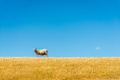 One sheep on top of a yellowed embankment against a bright blue Stock Photo