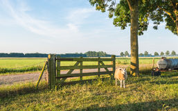 One sheep beside a wooden fence Royalty Free Stock Images
