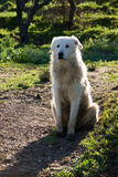 One sheepdogs maremmano Stock Photography