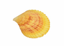 One shell isolated on white background Royalty Free Stock Image