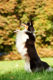 One Shetland Sheepdog Dog Stock Photography