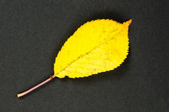One shiny yellow leaf Royalty Free Stock Images