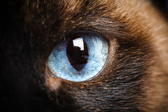 One siamese cat eye macro closeup. One siamese cat eye macro extreme closeup with reflection of photographer Stock Photos
