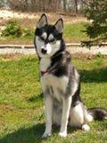 One siberian dog royalty free stock photos