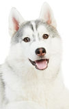 One Siberian husky isolated Stock Images