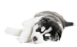 One Siberian husky puppy Stock Photo