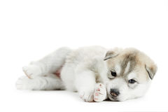 One Siberian husky puppy Royalty Free Stock Photo
