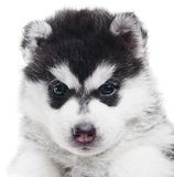 One Siberian husky puppy isolated Royalty Free Stock Image