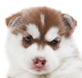 One Siberian husky puppy isolated Royalty Free Stock Images