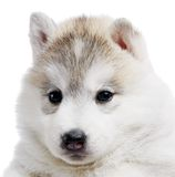 One Siberian husky puppy isolated Stock Photos