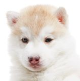 One Siberian husky puppy isolated Stock Images