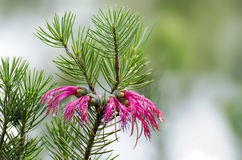 One sided red bottle brush. Calothamnus quadrifidus or one sided red bottle brush Stock Image