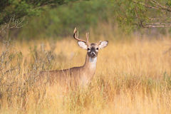 One sided whitetail rack Royalty Free Stock Photography