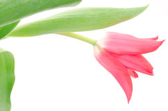 One sideways tulip Royalty Free Stock Images