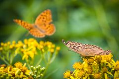 Silver-washed Fritallaries on Yellow Wildflower. One Silver-washed fritallary Argynnis paphia feeds on a yellow wildflower Senecio cannabifolius while a second Stock Images