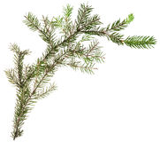 One simple fresh branch of christmas tree Royalty Free Stock Photo