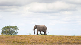 One single African Elephant walking in the distance. Wildlife Safari in the Kruger National Park, the main travel destination in S Stock Photos