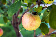 One Single Apple Growing on Tree In Summer Royalty Free Stock Photography