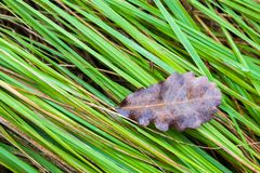 Dry leaf is on the fresh wet green grass in forest. One Single big dry leaf is on the fresh wet green grass in forest Stock Image