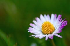 One single daisy flower macro shot Royalty Free Stock Image
