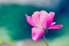 One single delicate  pink rose  against a green bokeh out of focus Stock Images