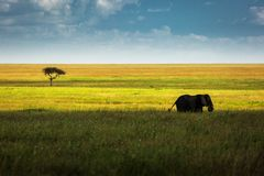 One single elephant in the grass with beautiful background a sin royalty free stock photos