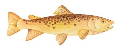 Brown Trout Salmo trutta watercolor illustration. stock illustration