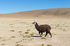 One single llama on the Andean highland in Bolivia Royalty Free Stock Photos