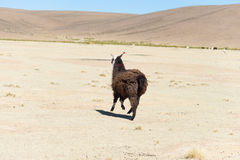 One single llama on the Andean highland in Bolivia. Adult animal galloping in desert land. Side view Royalty Free Stock Photography