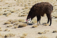 One single llama on the Andean highland in Bolivia Royalty Free Stock Image